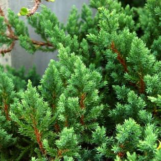 Evergreen shrubs keep your yard looking beautiful year round.