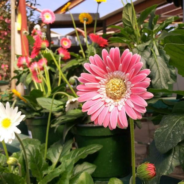 Need some Popping color? We have a bunch of Gerber Daisies to fill in the garden with beautifully bold color!