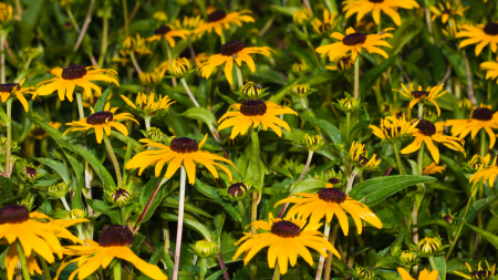 Field of Black-eyed Susan Flowers