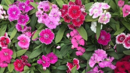 Perennial Dianthus flowers