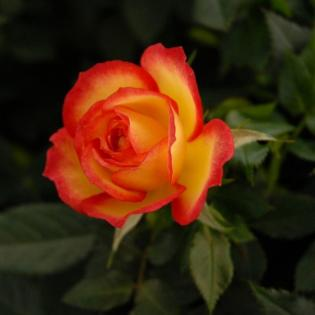 Learn more about roses