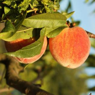 Learn more about fruit trees.