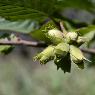 Learn more about our nut trees.