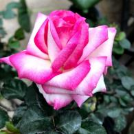 Miss Congeniality Rose